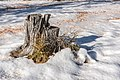 Albeck Seebachern Baumstumpf 22112017 2076.jpg