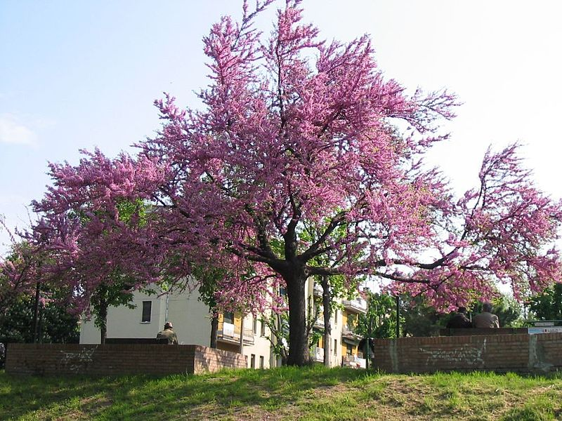 tamaris arbuste