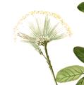 Albizia lebbek flower.png