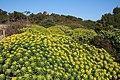 Alcúdia - Cami de Manresa - Euphorbia dendroides 01 ies.jpg