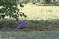 Alectoris rufa, Amboise, Indre-et-Loire, France 7.jpg