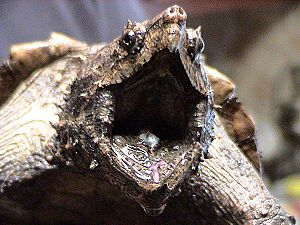 Aggressive mimicry - The alligator snapping turtle uses its tongue to lure fish.