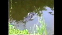 File:Alligatoridae - Alligator mississippiensis from Everglades.webm