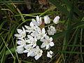 Allium neapolitanum02.jpg