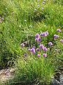 Allium schoenoprasum001.jpg