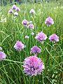 Allium schoenoprasum var. alpinum sl20.jpg