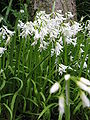 Allium triquetrum1.jpg