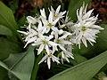 Allium ursinum 126663652.jpg