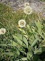 Allium victorialis 003.JPG