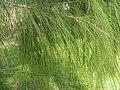 Allocasuarina verticillata2.jpg