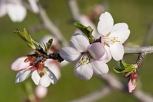 Flowering (sweet) almond tree