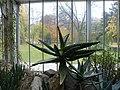 Aloe ferox (20).jpg