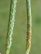 Alopecurus aequalis & japonicus 01.jpg