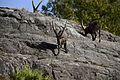 Alpine Ibex.1.jpg