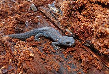 Young alpine newt sitting in rotting wood