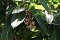 Alpinia zerumbet 29zz.jpg