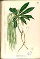 Alstonia spectabilis Blanco2.379-original.png