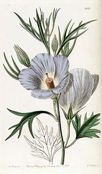 Alyogyne hakeifolia (Hibiscus lilacinus) Edwards's Bot. Reg. 23.2009.1837