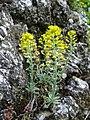 Alyssum montanum subsp. montanum sl3.jpg