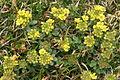 Alyssum ovirense (Obir-Steinkraut) IMG 0696.jpg
