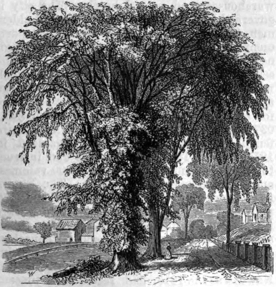 AmCyc Elm - American Elm (tree)