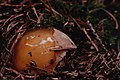 "Amanita muscaria (""embryonic stage""). (29569534423).jpg"
