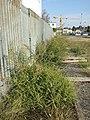 Amaranthus albus sl29.jpg