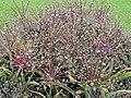 Amaryllidaceae Allium schubertii 1.jpg