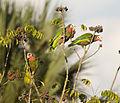 Amazona leucocephala -Matanzas, Matanzas Province, Cuba -three-8.jpg