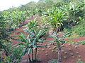 Ambariomiambana - champ de bananes et ananas.jpg