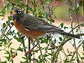 American Robin-27527.jpg