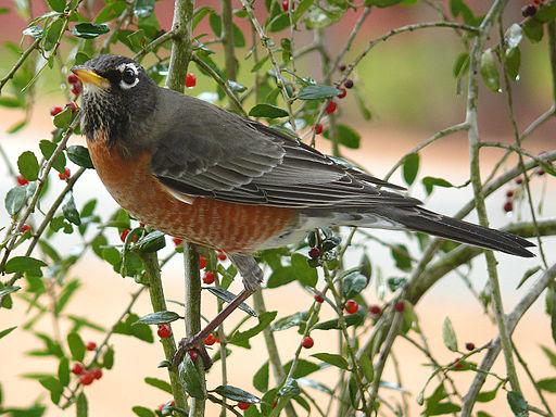 American Robin-27527