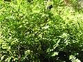 Amorpha fruticosa.JPG