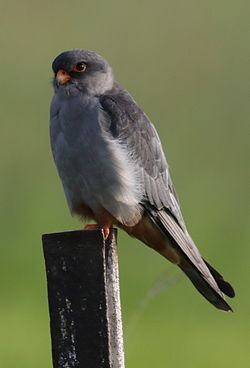 Amur falcon, Falco amurensis, male at Eendracht Road, Suikerbosrand, Gauteng, South Africa (25637423240).jpg