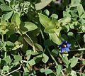 Anagallis arvensis - Flickr - S. Rae.jpg