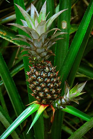 English: Photo of an unripe pineapple fruit (A...