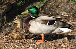 Couple de canards colverts. Le mâle a la tête verte et la femelle est marron.
