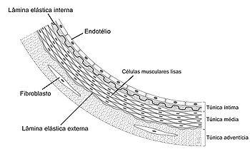 Anatomia da parede arterial