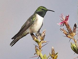 Green-headed hillstar Species of bird