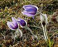 Andechs, Bäckerbichl (Flora) HB-11.jpg