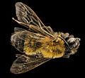 Andrena milwaukeensis, F, back, Hancock co., Brooklin 2014-01-06-14.56.25 ZS PMax (14019119016).jpg