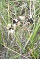 Androstephium caeruleum fruit3.png