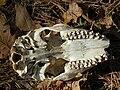 Animal-skull.jpg