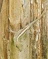 Anolis marmoratus (Femal).jpg