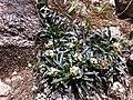 Antennaria linearifolia.jpg