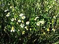 Anthemis arvensis (subsp. arvensis) sl3.jpg