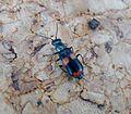 Anthocomus fasciatus . Malachiidae - Flickr - gailhampshire (1).jpg