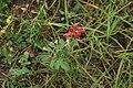 Anthyllis-vulneraria-coccinea1.jpg