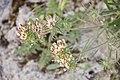 Anthyllis vulneraria-2989.jpg