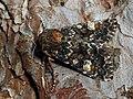 Apamea rubrirena - Полевая совка краснопочечная (40222450755).jpg